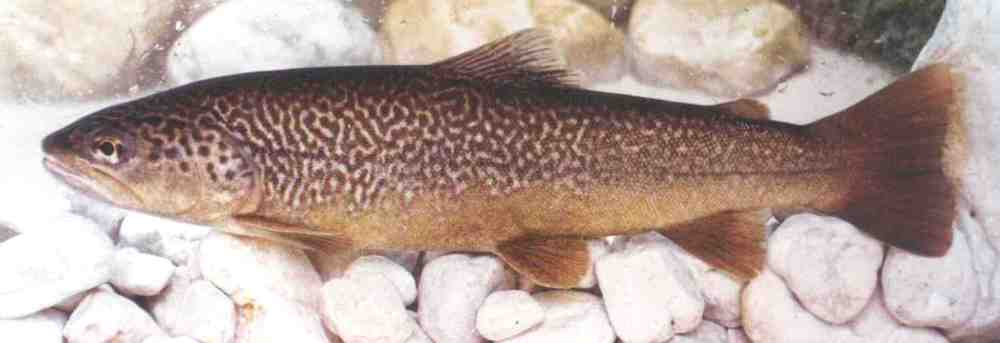 marble_trout_from_zadlascc8cccc8cica-wiki