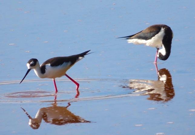 Black-necked Stilts, Abaco Bahamas (Keith Salvesen)
