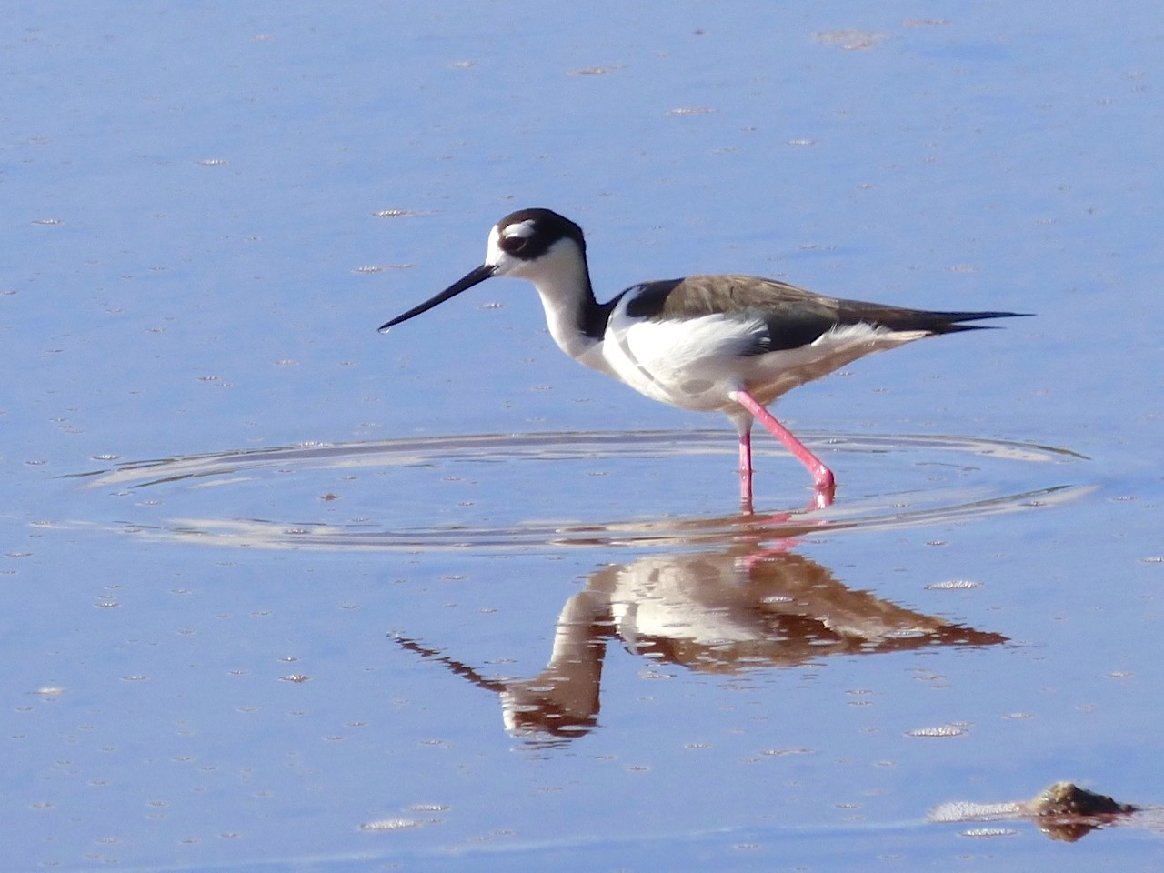 Black-necked Stilts, Abaco Bahamas (Keith Salvesen)