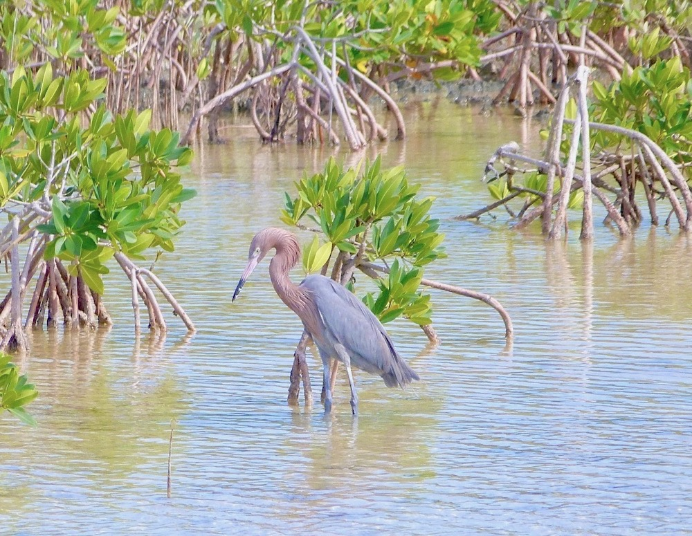 Reddish Egret Fishing, Crossing Rocks, Abaco (Keith Salvesen)