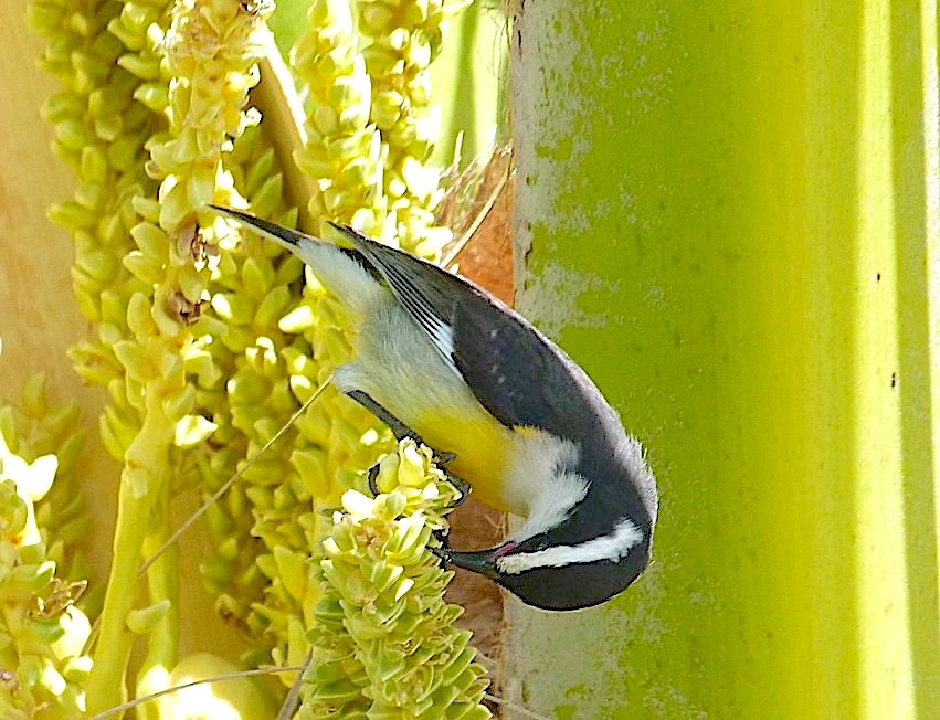 Bananaquits, Abaco Bahamas (Keith Salvesen)