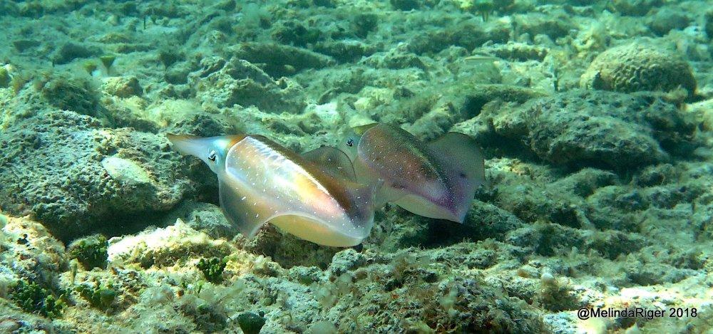 Caribbean Reef Squid, Bahamas (Melinda Riger / G B Scuba)