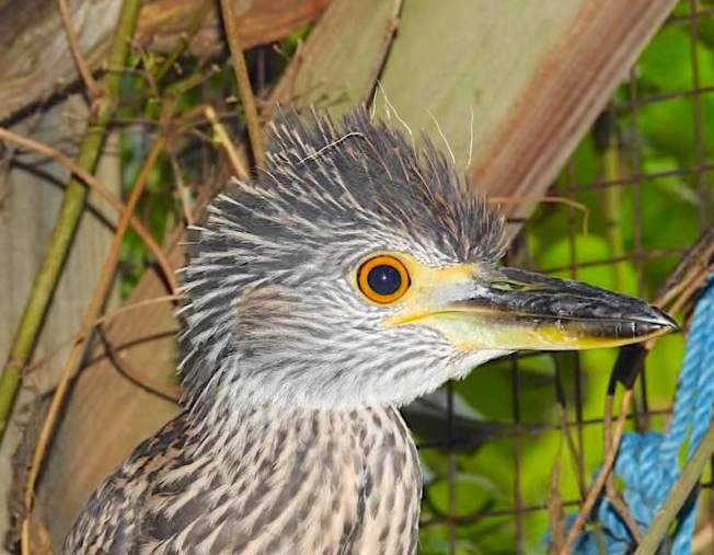 Yellow-crowned Night Heron (Rescue Bird 'Big Boy) - Melissa Maura