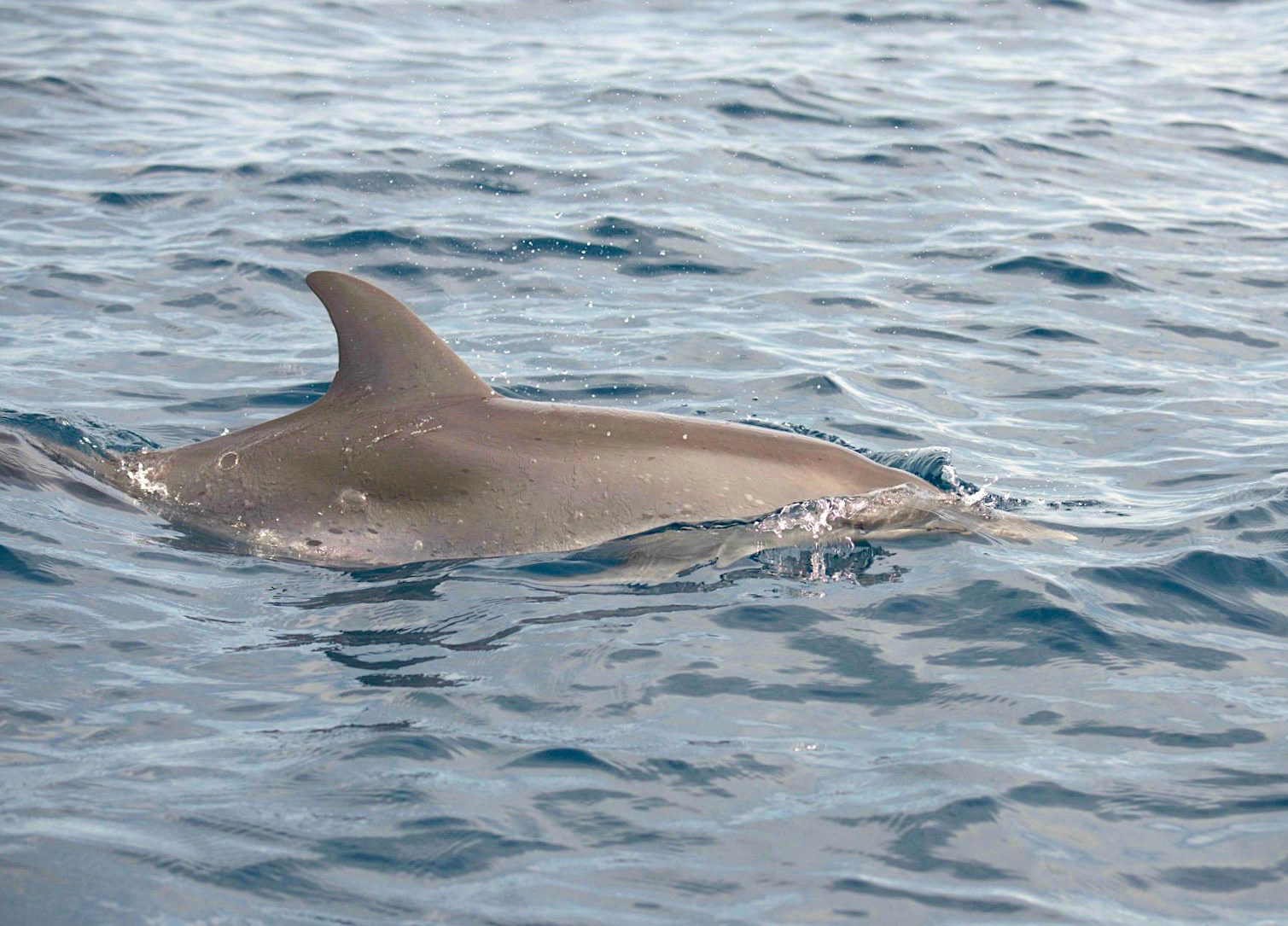 Atlantic Spotted Dolphins in Abaco Waters (BMMRO)