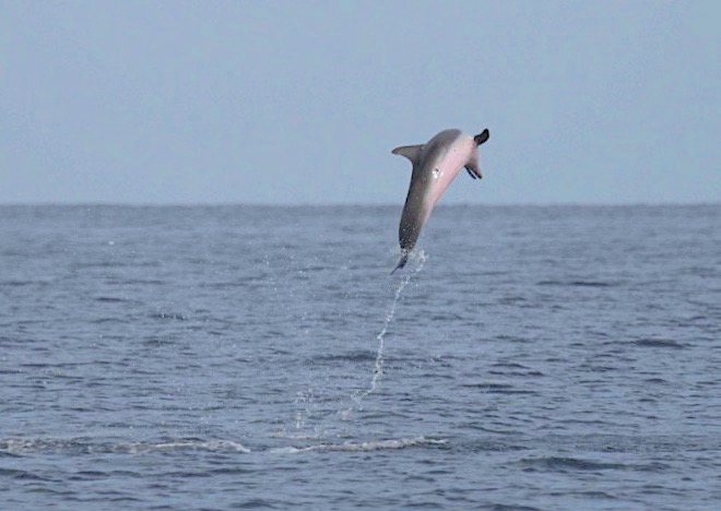 Atlantic Spotted Dolphin leaping in Abaco Waters (BMMRO)