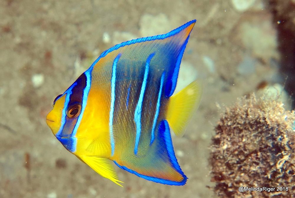 Queen Angelfish (Juv), Bahamas (Melinda Riger / Grand Bahama Scuba)
