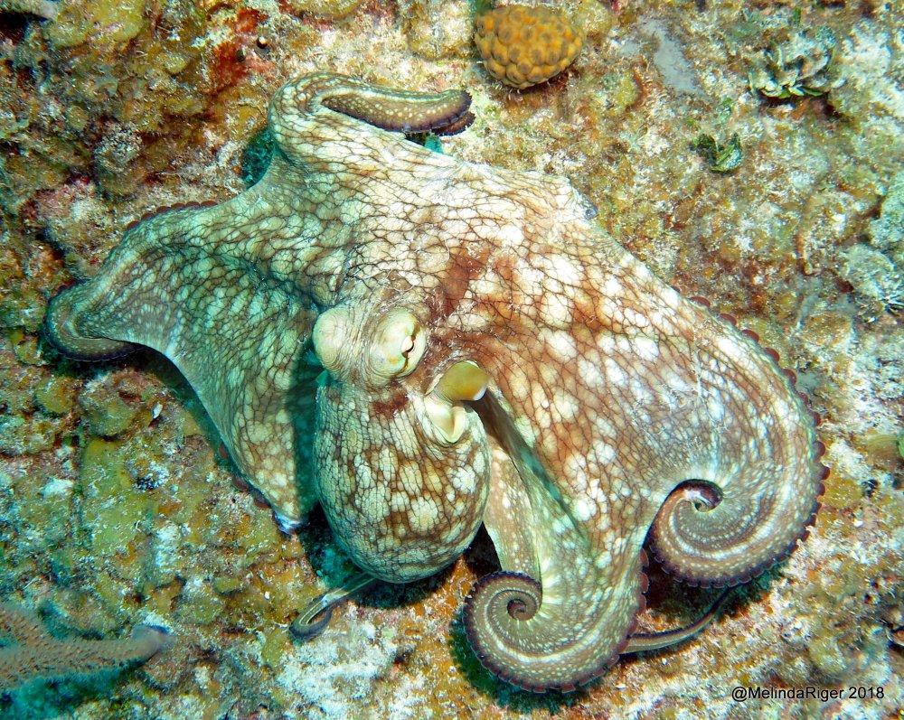 Octopus, Bahamas (Melinda Riger / Grand Bahama Scuba)