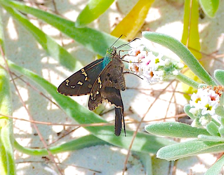 Long-tailed Skipper Butterfly, Abaco Bahamas (Keith Salvesen)