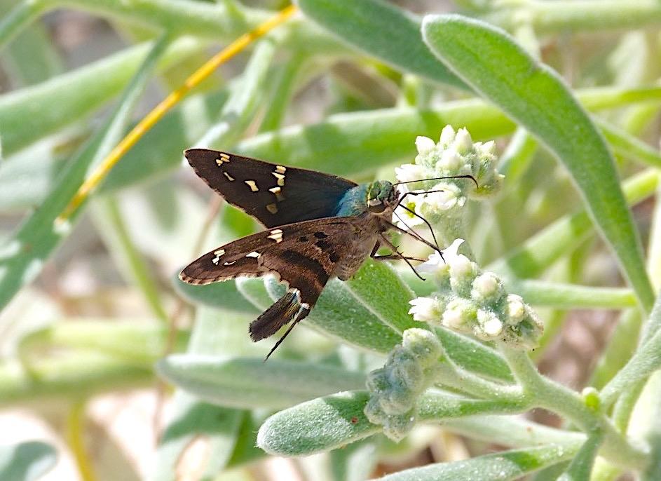 Long-tailed Skipper Butterfly, Abaco Bahamas (Keith Salvesen)