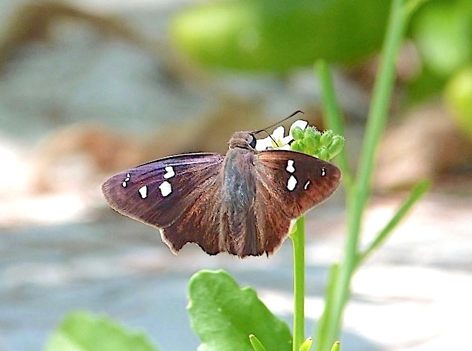Northern Cloudywing Butterfly, Abaco Bahamas (Keith Salvesen)