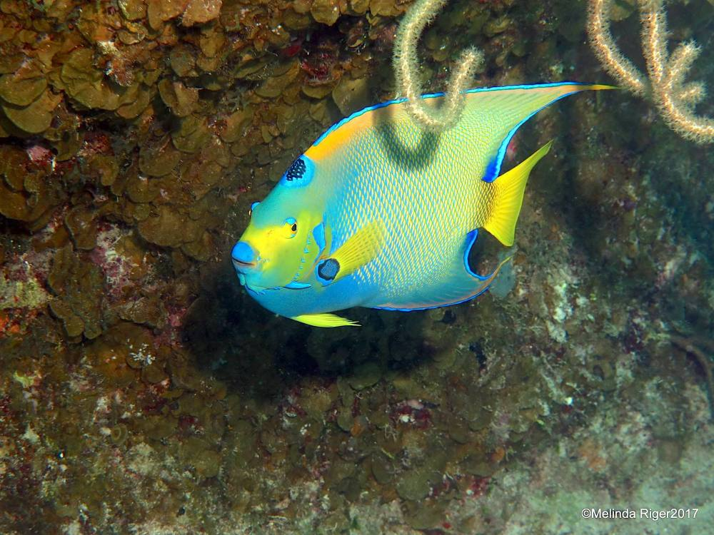 Queen Angelfish, Bahamas (Melinda Riger / Grand Bahama Scuba)