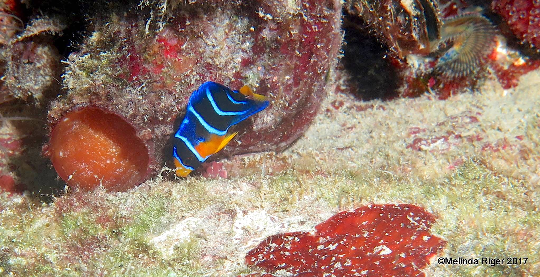 Queen Angelfish (Juvenile), Bahamas (Melinda Riger / Grand Bahama Scuba)