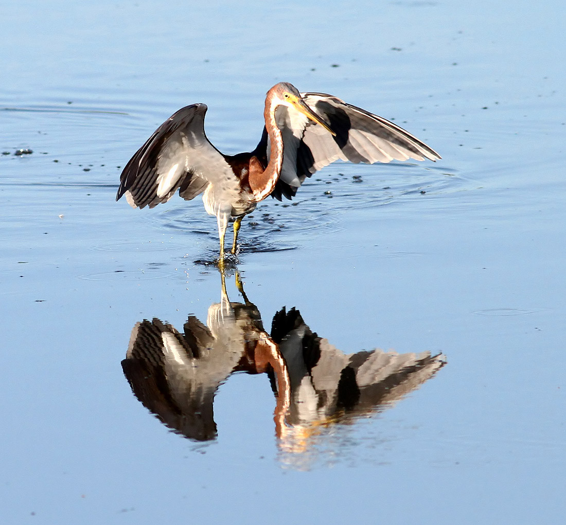 Tri-colored heron fishing (Phil Lanoue)