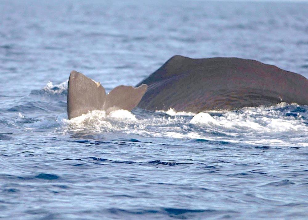 Sperm Whale Tailing, Abaco, Bahamas (©BMMRO)