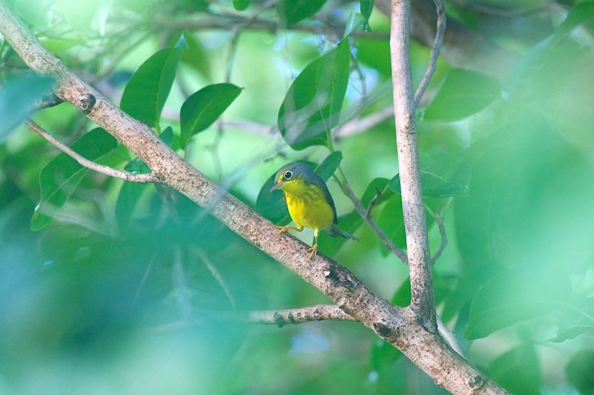 Canada Warbler Cardellina canadensis - Abaco Bahamas (1st record) - Christopher Johnson