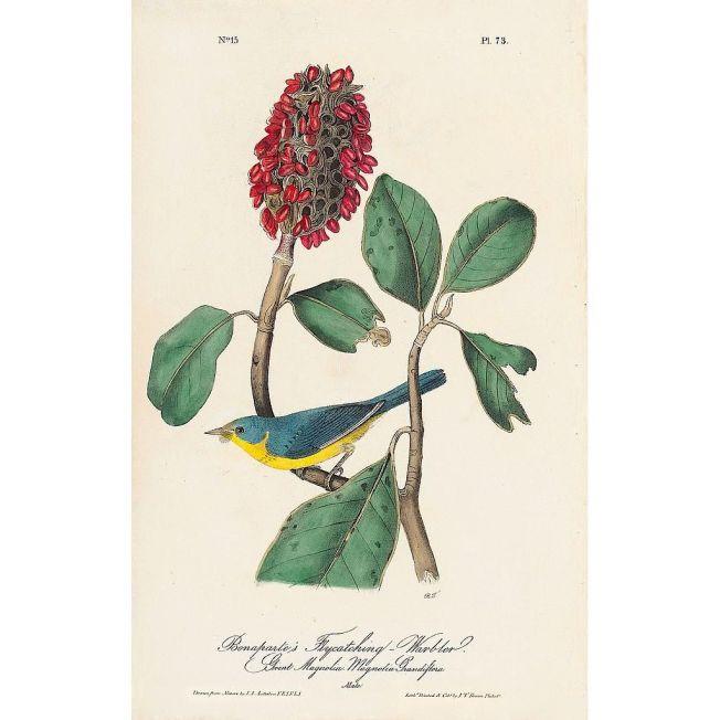 Canada Warbler / Bonaparte's Flycatching Warbler (J J Audubon)