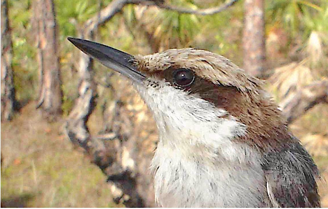 Bahama Nuthatch (Birdlife International, from Loma Linda Uni / Gary Slater)