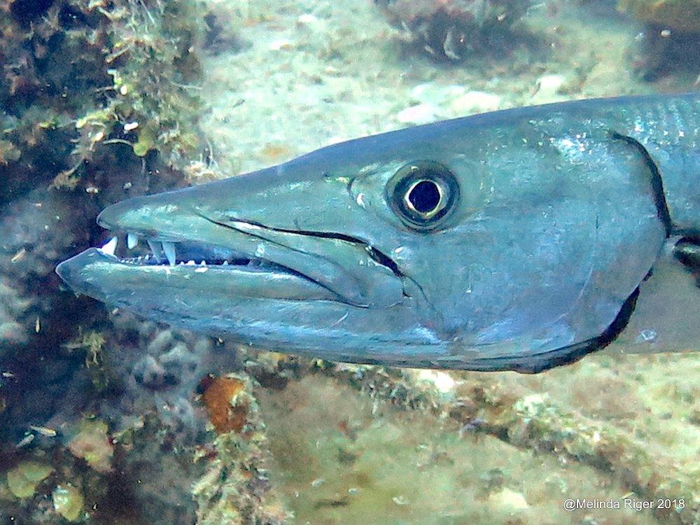Barracuda, Bahamas (Melinda Riger / Grand Bahama Scuba)