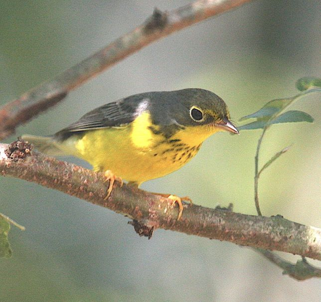 canada-warbler-f-emmett-hume-wiki1