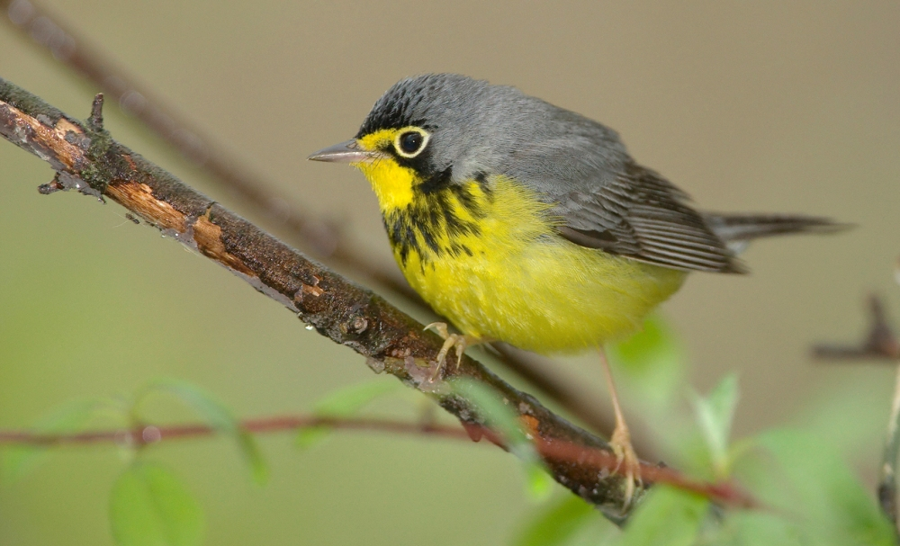 canada-warbler-m-william-h-majoros-wiki