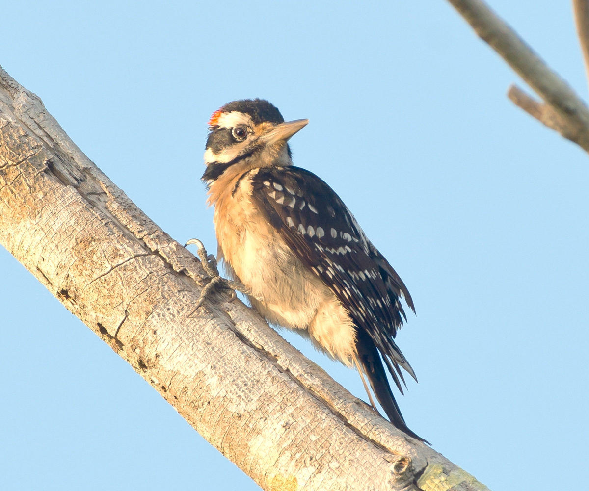 Hairy Woodpecker, Abaco Bahamas (Tom Sheley)