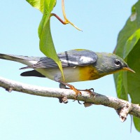 NORTHERN PARULAS: ON THEIR WAY TO ABACO