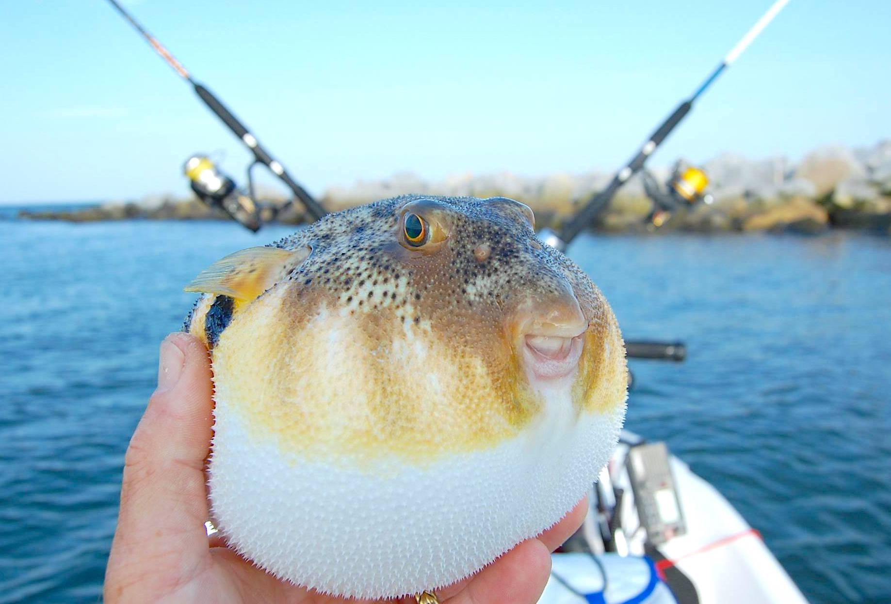 Sharpnose Puffer Fish (Brian Lockwood)