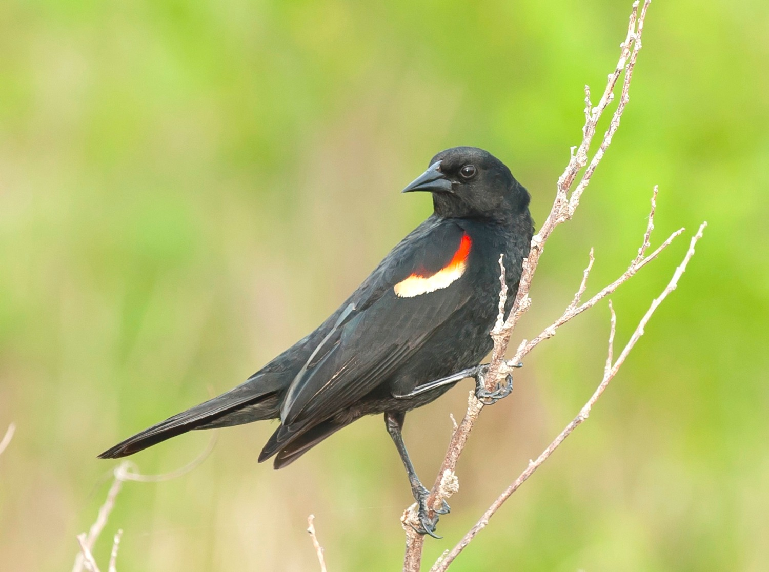 red-winged-blackbird-male-abaco-bahamas-tom-sheley.jpg