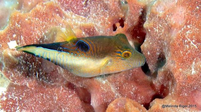 Sharpnose Puffer Fish (Melinda Riger / G B Scuba)