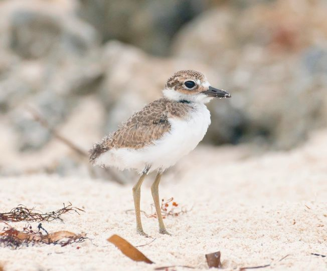 Wilson's Plover chick, Delphi Club, Abaco Bahamas (Tom Sheley)