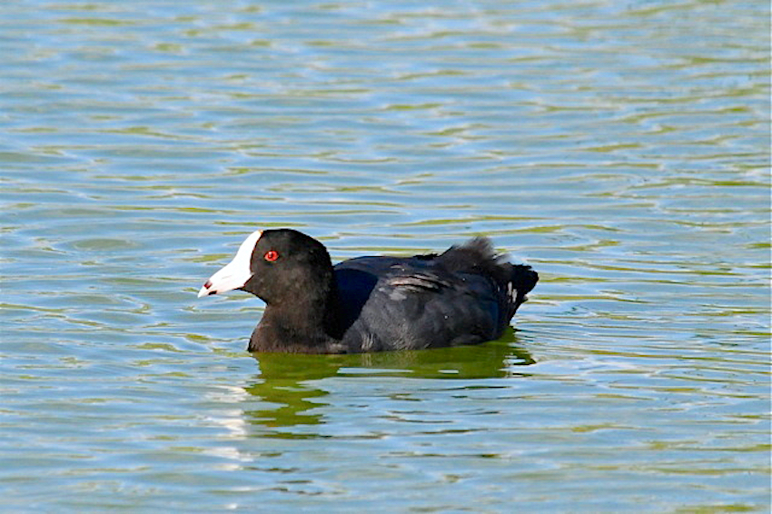 'Caribbean' (now American' Coot - white frontal shield - Abaco, Bahamas. Woody Bracey