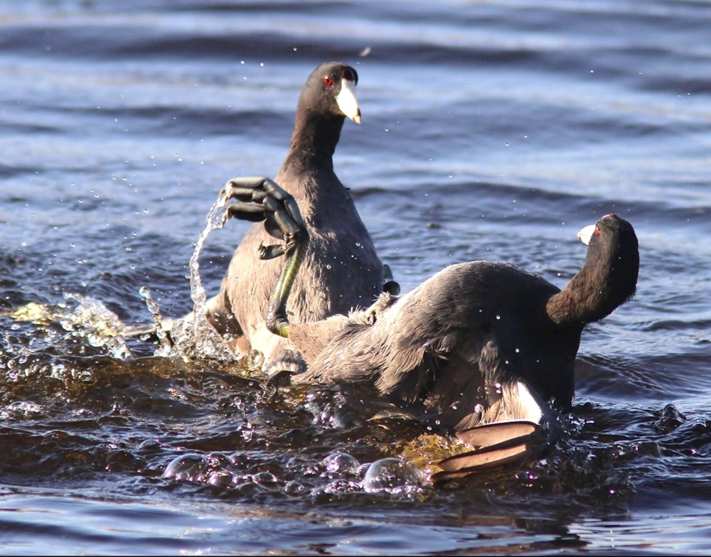 Coots Fighting (Phil Lanoue)