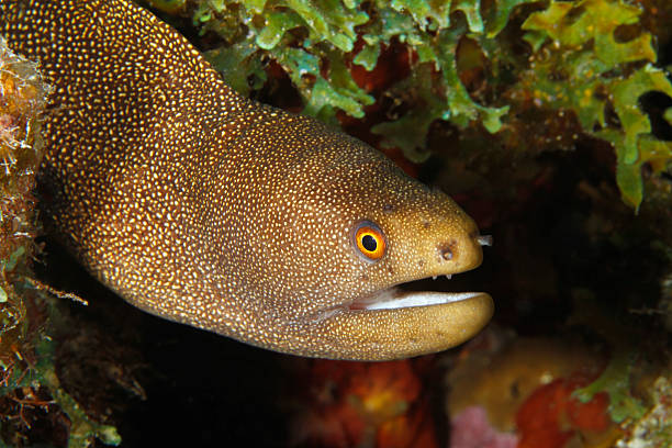 goldentail-moray-eel-istock-getty-images-1.