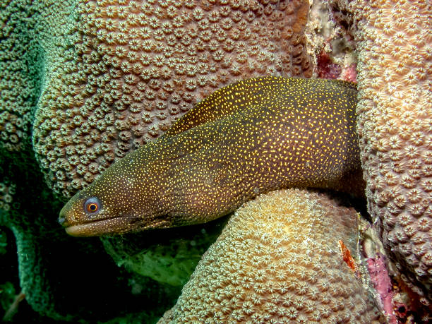 goldentail-moray-eel-istock-getty-images-3