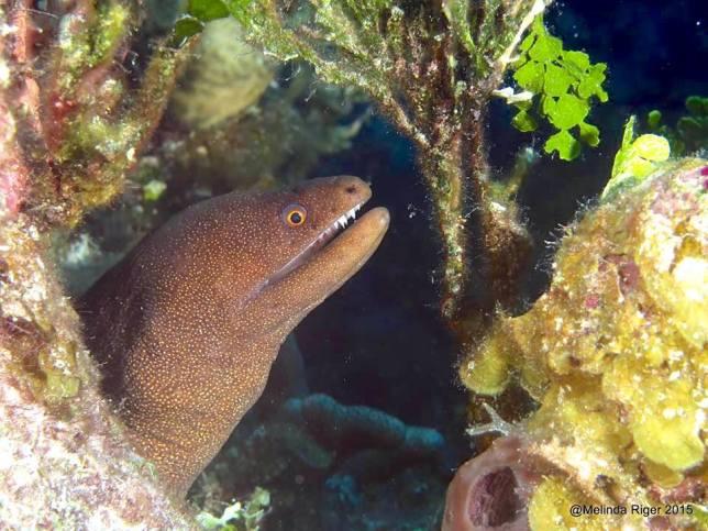 Goldentail Moray Eel (Melinda Riger / G B Scuba)
