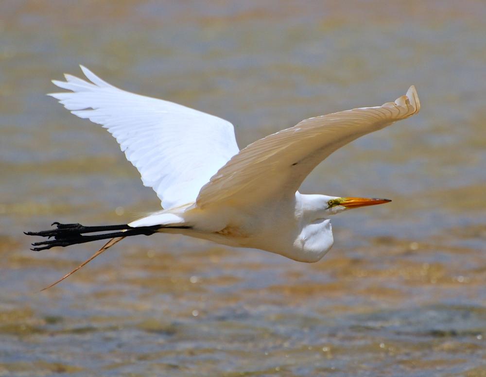Great Egret, Bahamas (Nina Henry)