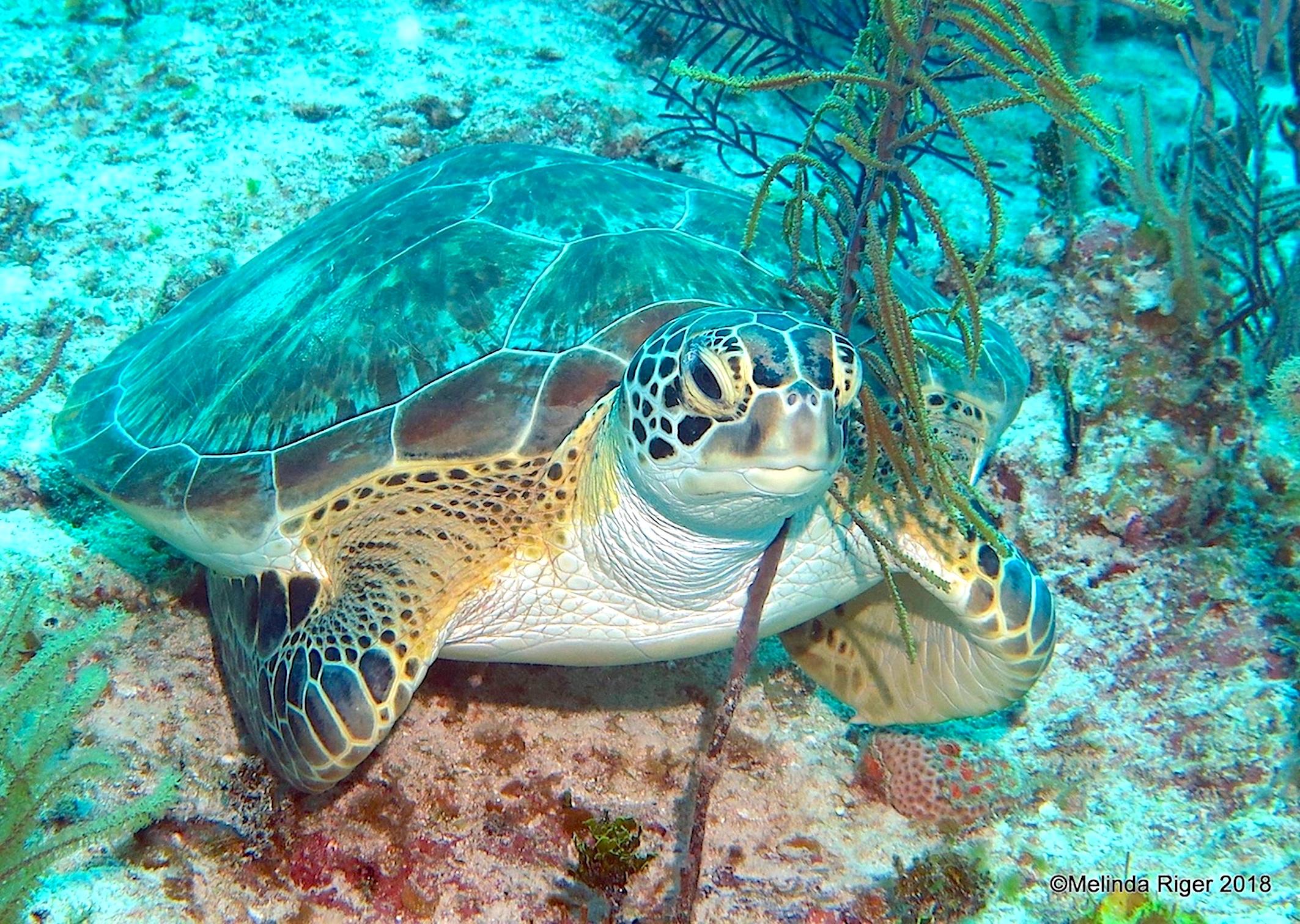Green Turtle, Bahamas (Melinda Riger / Grand Bahama Scuba)