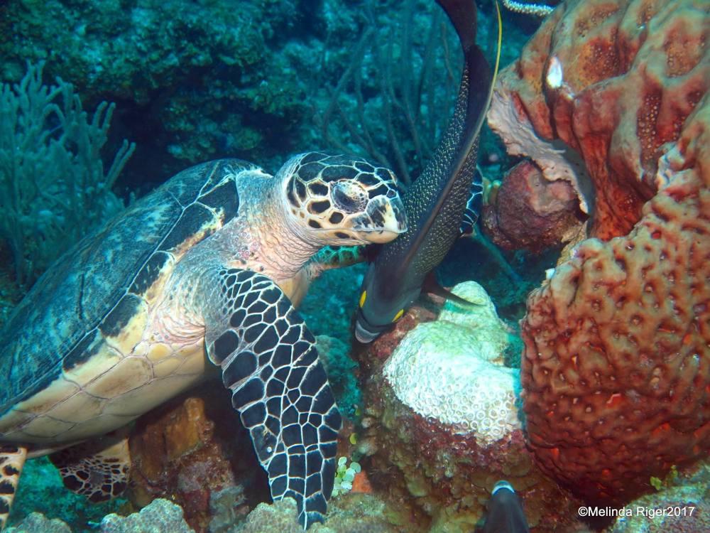 Hawksbill Turtle, Bahamas (Melinda Riger / Grand Bahama Scuba)