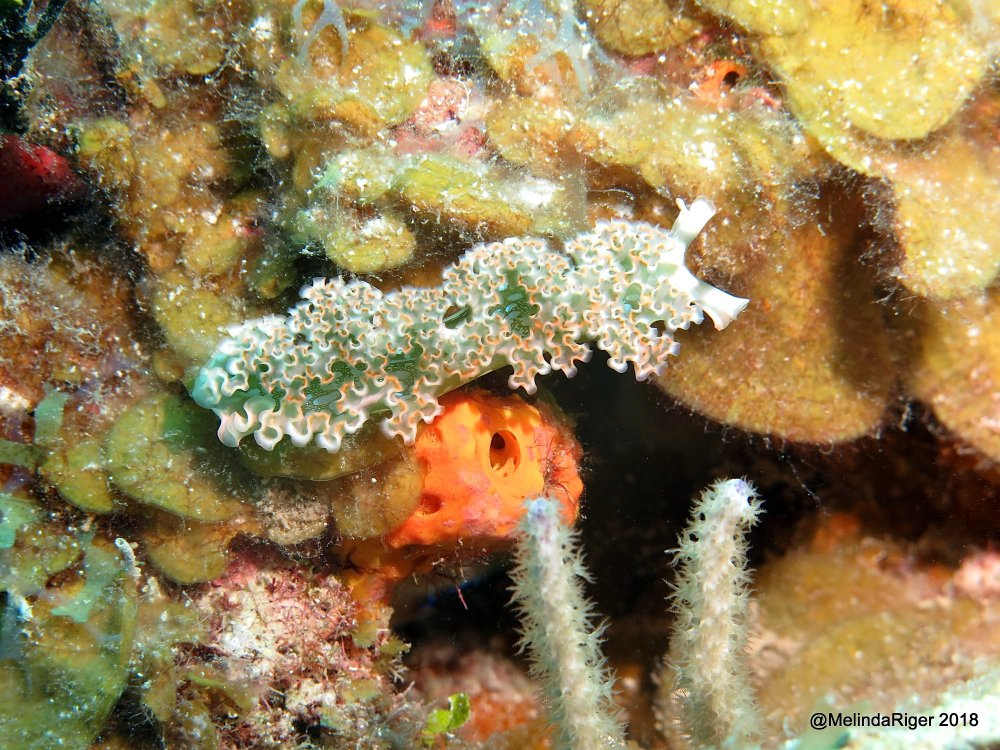 Lettuce Sea Slug, Bahamas (Melinda Riger / G B Scuba)