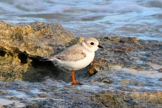 Piping Plover on Abaco Bahamas (Charmaine Albury)