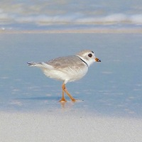 PLOVER APPRECIATION DAY 2018: ABACO'S 6 TREASURES