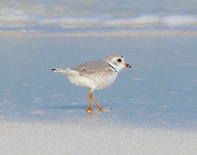 Piping Plover, Abaco Bahamas (Keith Salvesen)