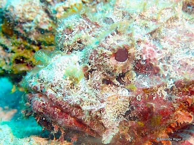 Caribbean Scorpionfish, Bahamas (Melinda Riger / G B Scuba)