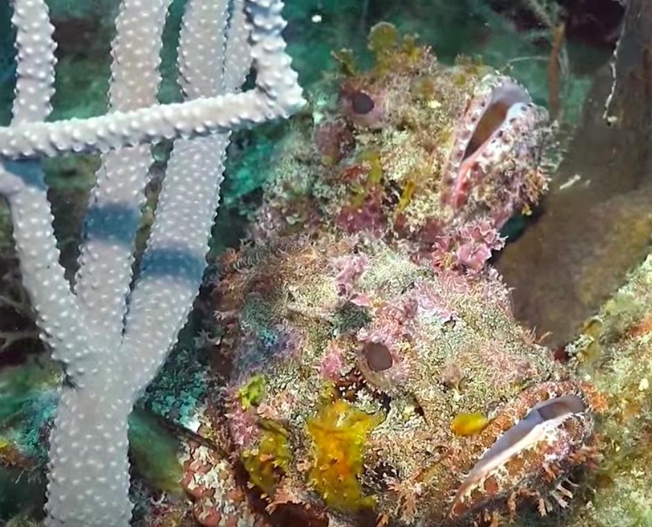 Caribbean Scorpionfish, Bahamas (Ocean Frontiers Dive Shop)