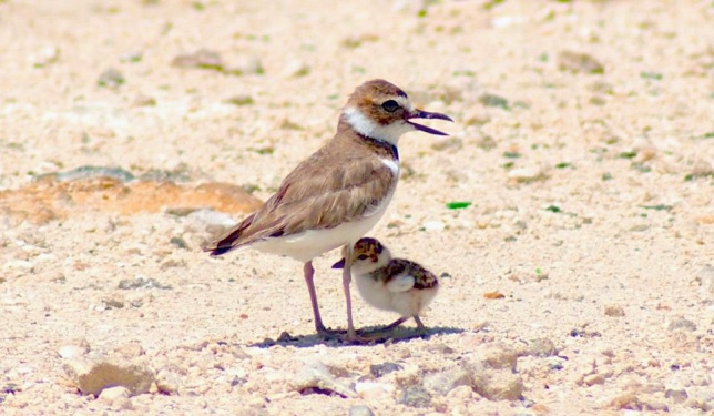 Wilson's Plover adult & chick, Abaco Bahamas - Sandy Walker