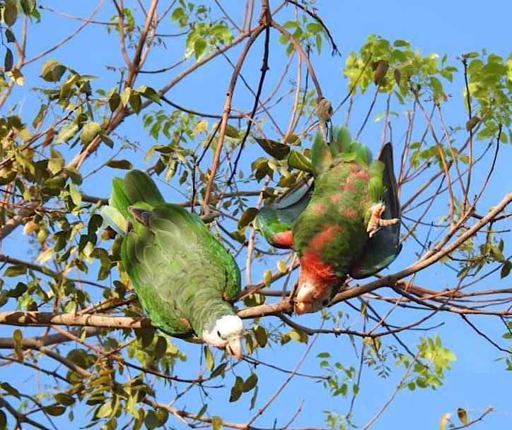 Abaco (Cuban) Parrot Acrobatics (Melissa Maura)