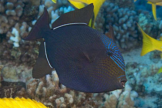 Black Durgon Triggerfish (Getty Images)