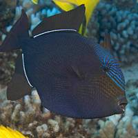 BLACK DURGON: A TRIGGERFISH OF DISTINCTION