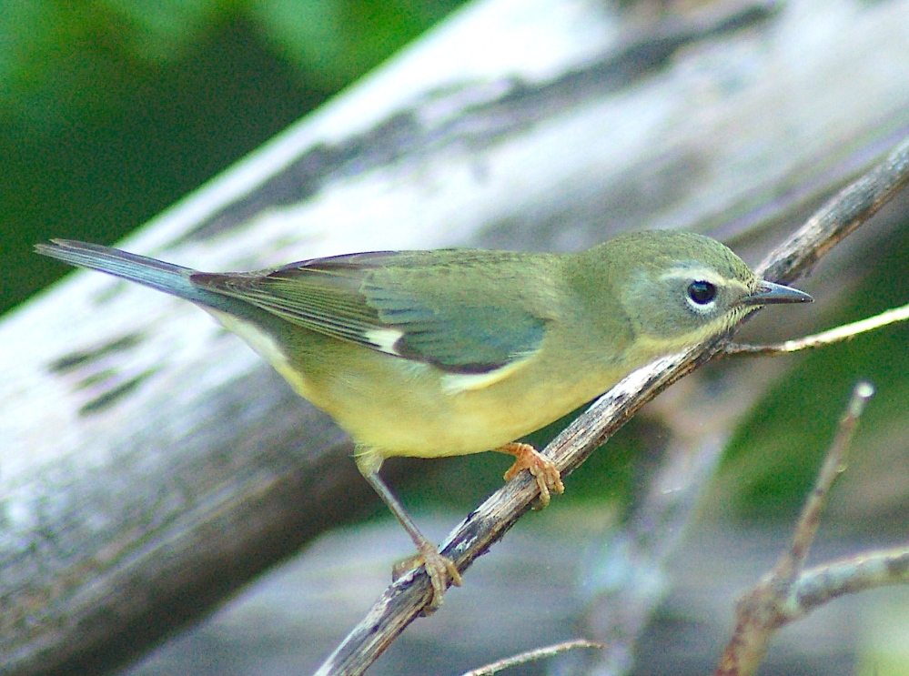 Black-throated Blue Warbler (f), Abaco (Becky Marvil)