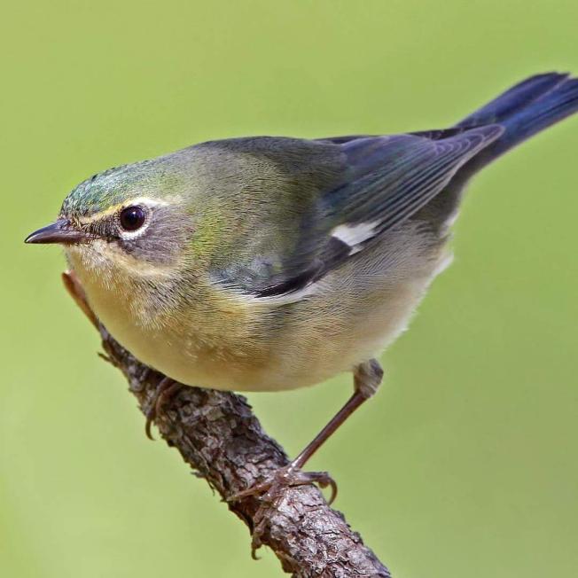 Black-throated Blue Warbler (f) (Dax Roman / Birds Caribbean)